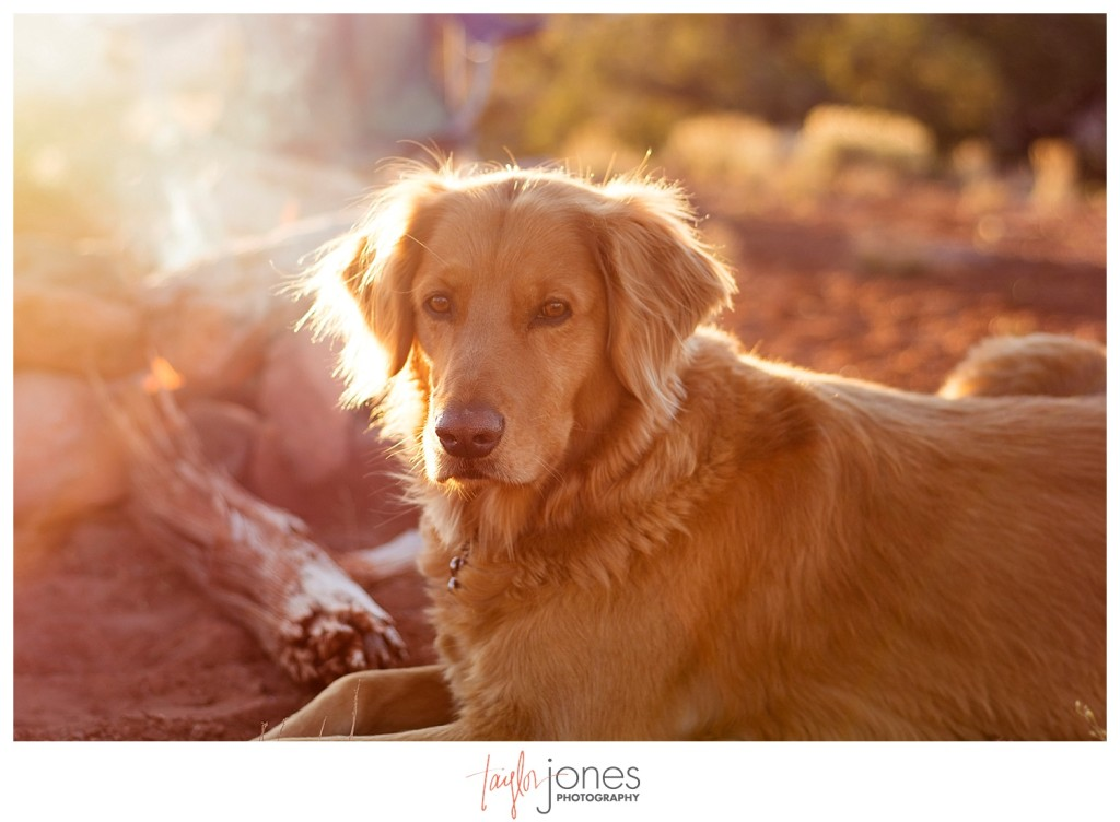 Golden retriever camping in Moab, Utah